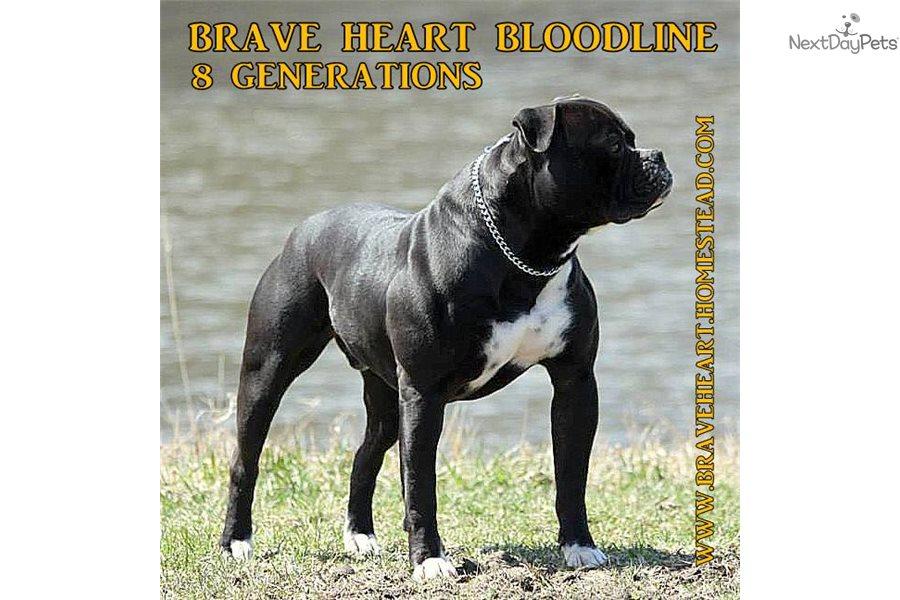 American Bulldog Puppy For Sale Near Chicago Illinois 64a58687 9cf1