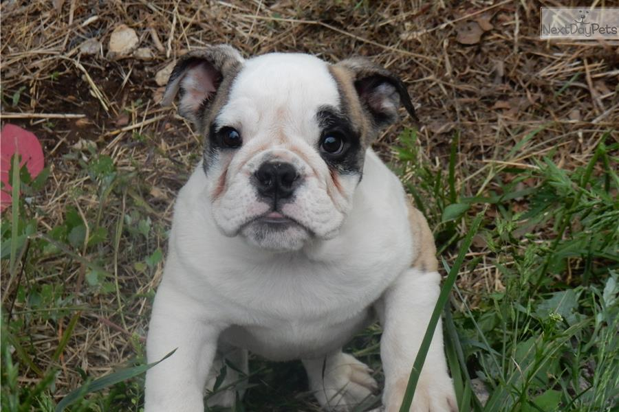 Grey english bulldog
