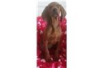 Picture of UKC registered Redbone coon hound puppy!