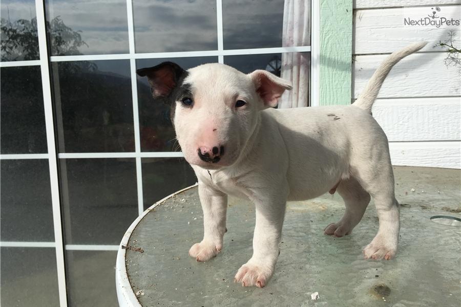 Genoeg Miniature Bull Terrier puppy for sale near Fresno / Madera  OV39