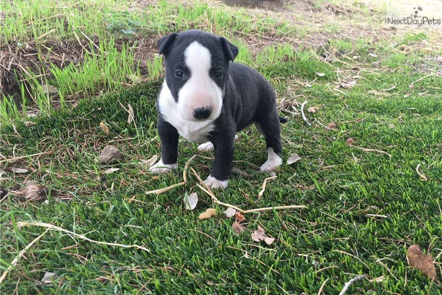 Miniature Bull Terrier puppy for sale near Fresno / Madera