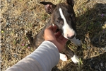Picture of a Miniature Bull Terrier Puppy