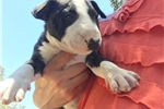 Picture of pure breed male mini bull terrier puppy