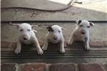 Picture of pure breed male mini bully puppy