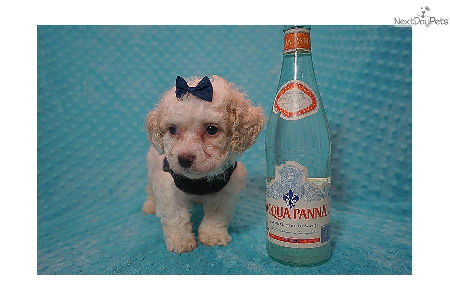 Denzel W Malti Poo Maltipoo Puppy For Sale Near Los