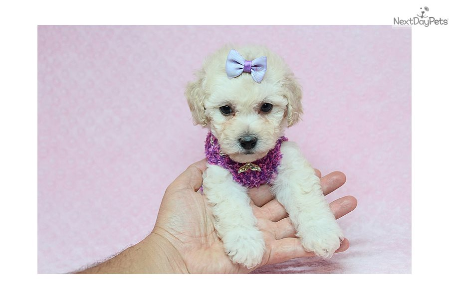 Malti Poo - Maltipoo puppy for sale near Los Angeles