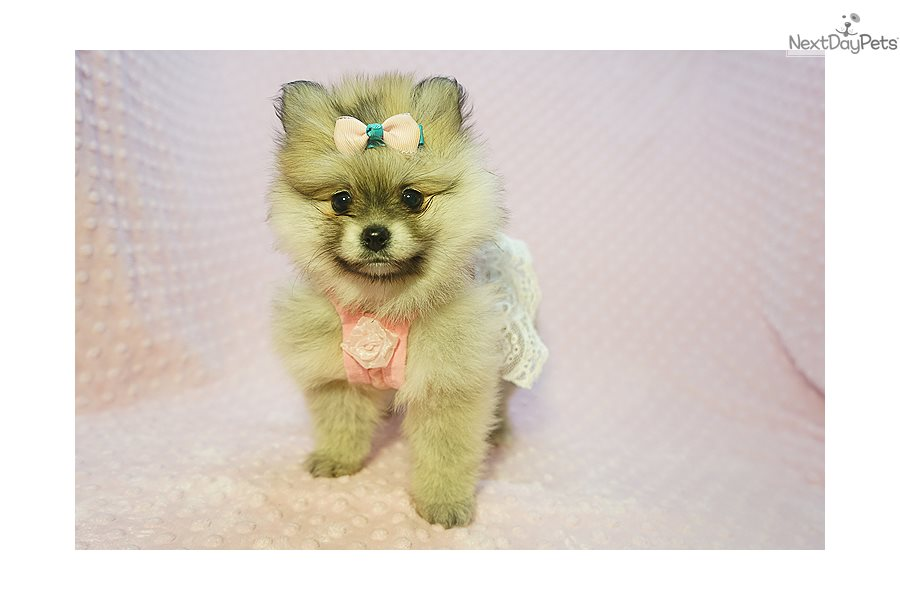 Gorgeous Pomeranian Puppy For Sale Near Los Angeles California
