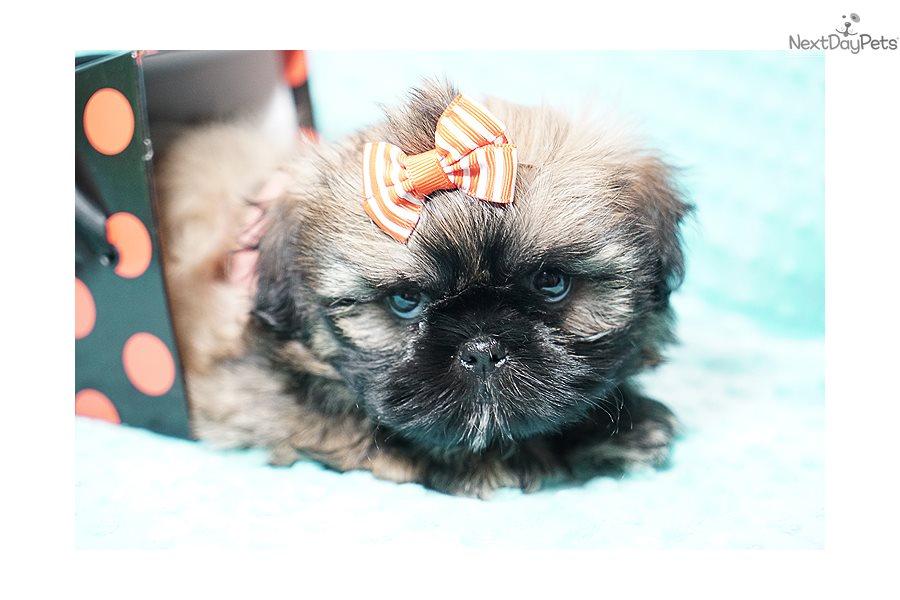 Oliver Teacup Shih Shih Tzu Puppy For Sale Near Los Angeles