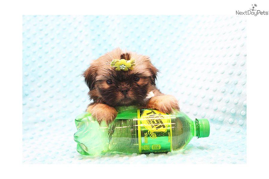 Yoda Toy Shih Tzu Shih Tzu Puppy For Sale Near Los Angeles