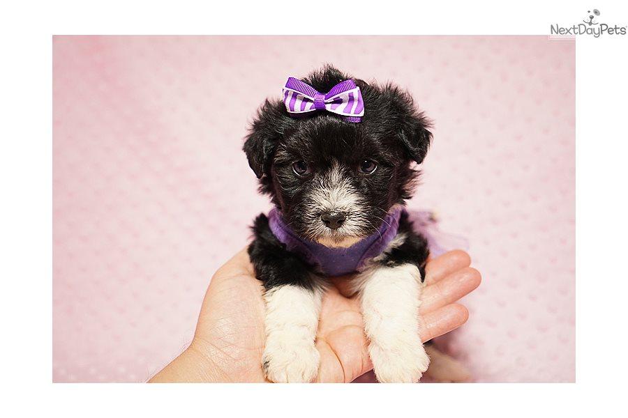 Kendle Jenner Yorkiepoo Yorkie Poo Puppy For Sale Near Los