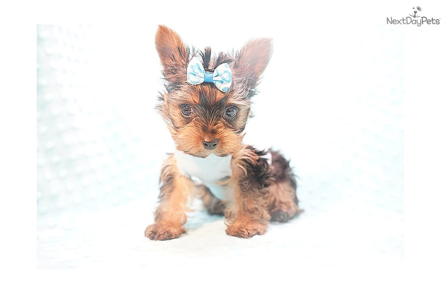Kanye Yorkshire Terrier Yorkie Puppy For Sale Near Los Angeles