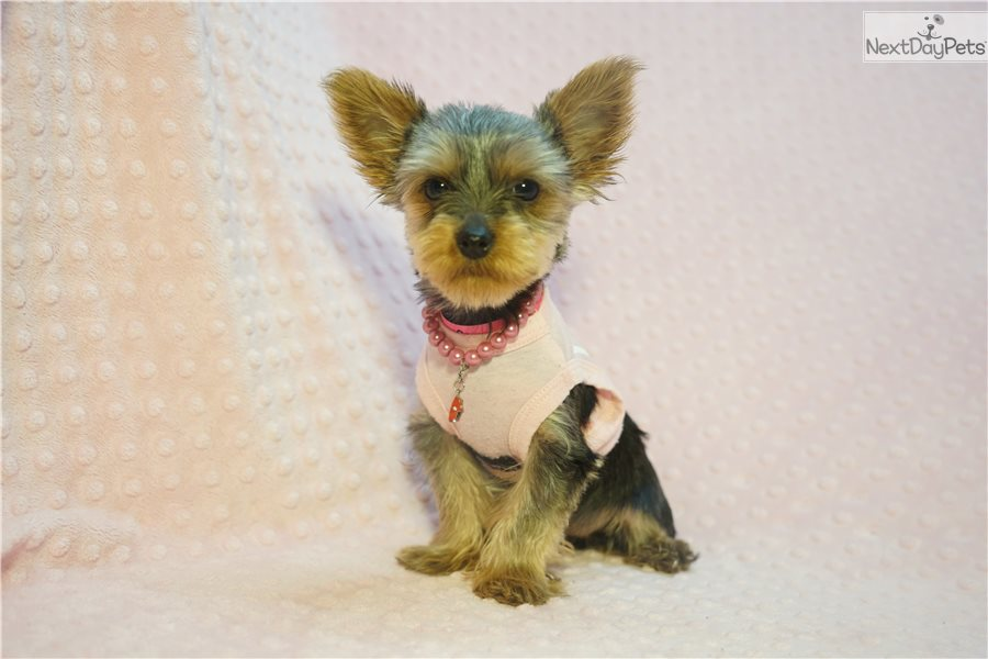 Butterfly Yorkshire Terrier Yorkie Puppy For Sale Near Los
