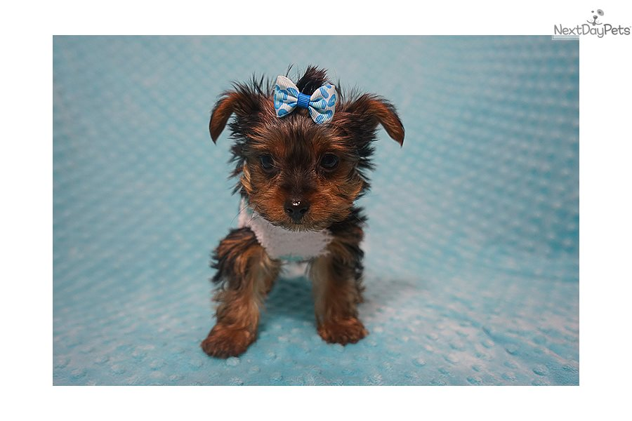 Ricky Martin Yorkshire Terrier Yorkie Puppy For Sale Near Los