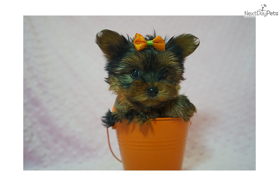 Tiffany Yorkshire Terrier Yorkie Puppy For Sale Near Los Angeles