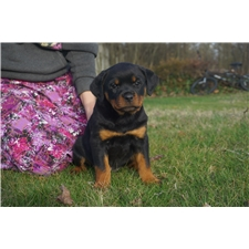View full profile for Thunder Mountain Rottweilers