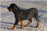 Picture of AKC Registered Champion Sired German Rott.
