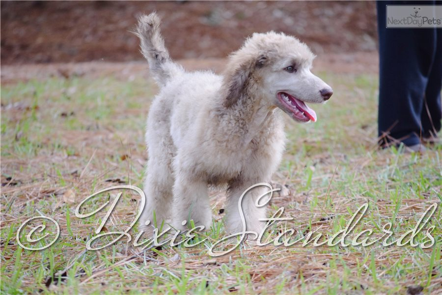 Woodstock: Poodle, Standard puppy for sale near Mobile