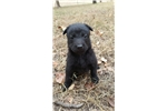 Picture of Black puppy