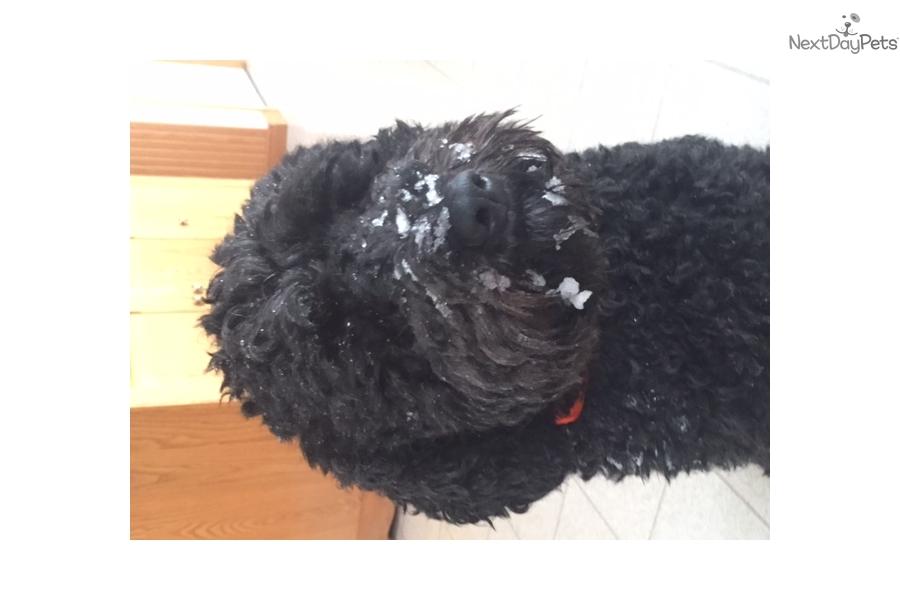 Lola Barbet Puppy For Sale Near Toronto Ontario 46dd3608 Ba51