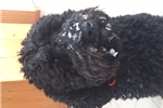 Nonshedding French Waterdogs | Puppy at 28 weeks of age for sale