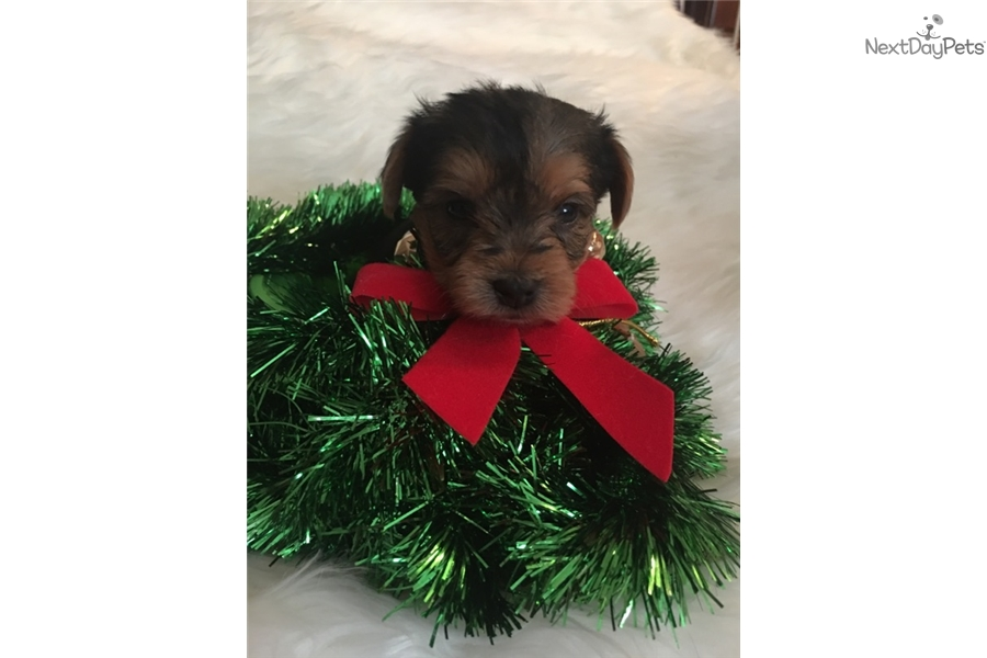 yorkie puppies for sale in philadelphia yorkshire terrier yorkie puppy for sale near 8132