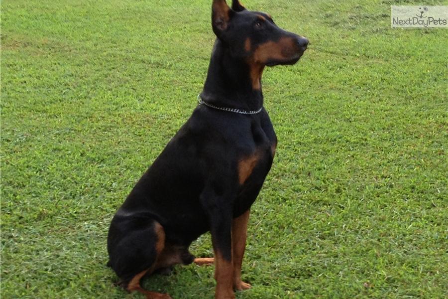 Doberman Pinscher Puppy For Sale Near Greenville Upstate South