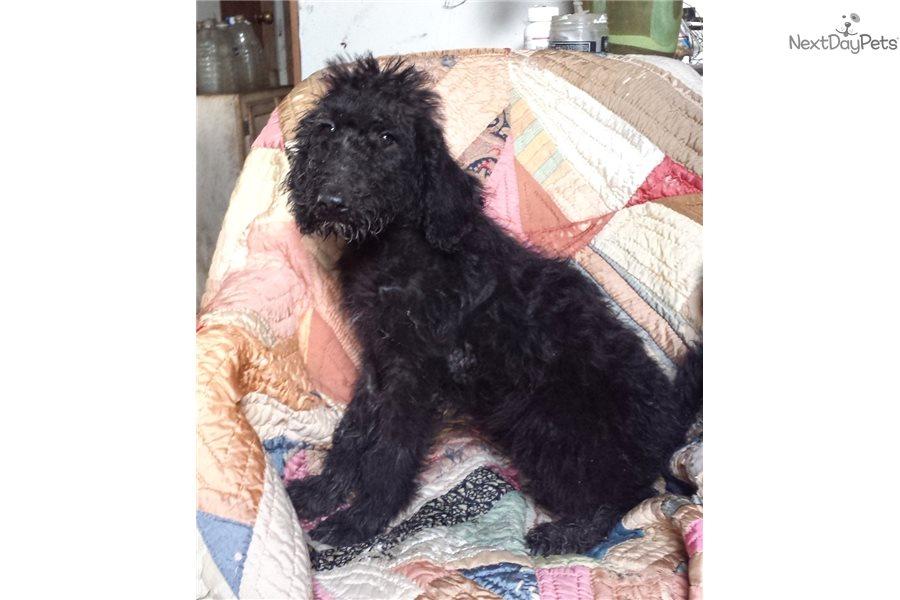 Barbie: Poodle, Standard puppy for sale near Austin, Texas