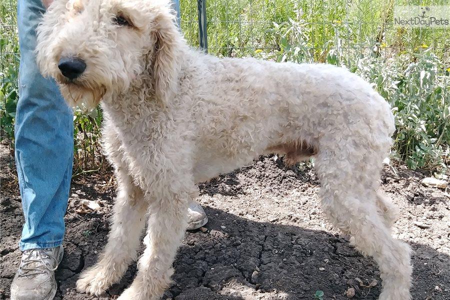 Big Bopper: Poodle, Standard puppy for sale near Austin