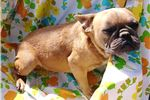 Picture of Beau:  Blue Fawn, Male AKC French Bulldog