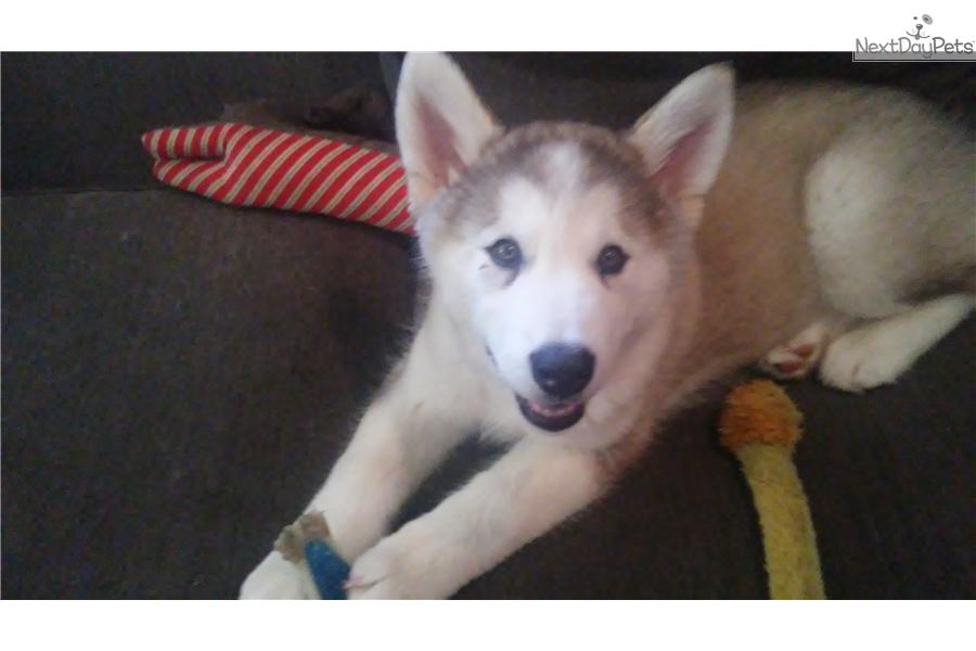 Feisty Girl: Wolf Hybrid puppy for sale near Little Rock