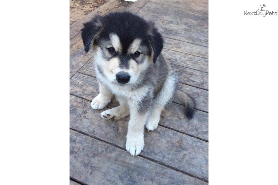 Little Bear Wolf Hybrid Puppy For Sale Near Little Rock Arkansas