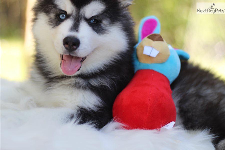 Jafar: Siberian Husky puppy for sale near San Antonio, Texas