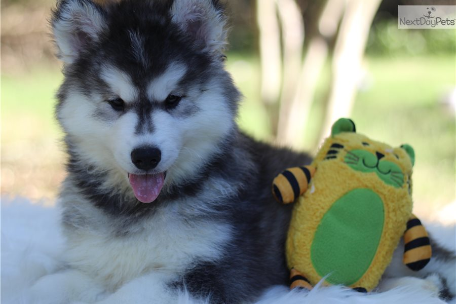 Scar: Siberian Husky puppy for sale near San Antonio, Texas