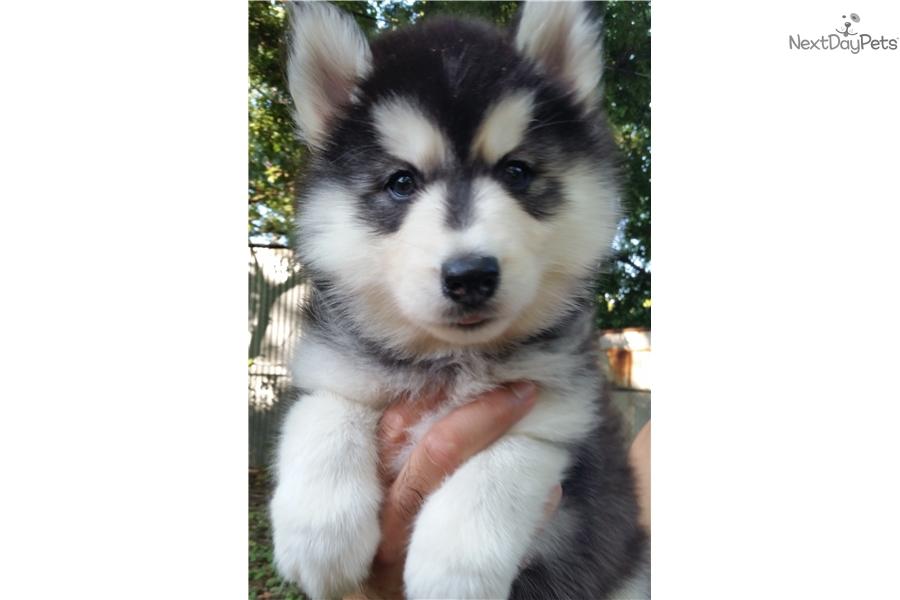 Calla: Siberian Husky puppy for sale near San Antonio, Texas