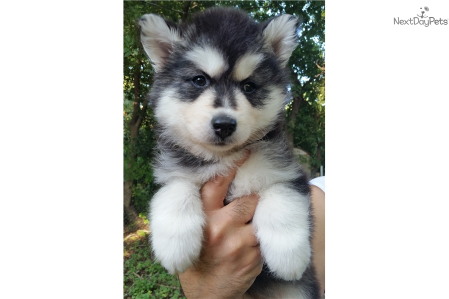 Blue: Siberian Husky puppy for sale near San Antonio, Texas