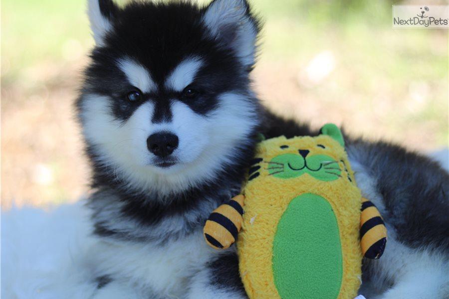 Clayton: Siberian Husky puppy for sale near San Antonio