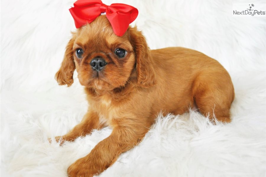 King charles cavalier puppies for sale california