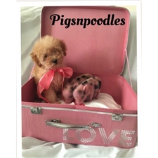 View full profile for Pigsnpoodles