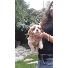 View full profile for Cute Cavaliers4sale