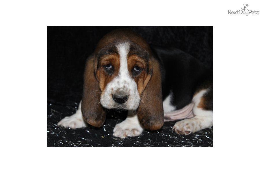 Basset Hound Puppy For Adoption Near Springfield Missouri