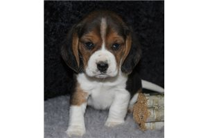 Picture of AKC Ch S Charlie