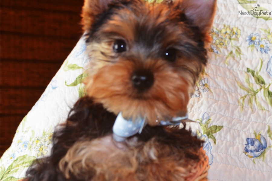 Little Joe Yorkshire Terrier Yorkie Puppy For Sale Near San