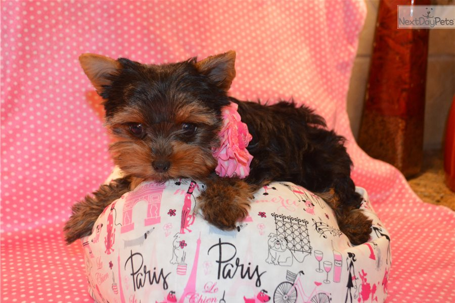 Isabella Yorkshire Terrier Yorkie Puppy For Sale Near San Antonio