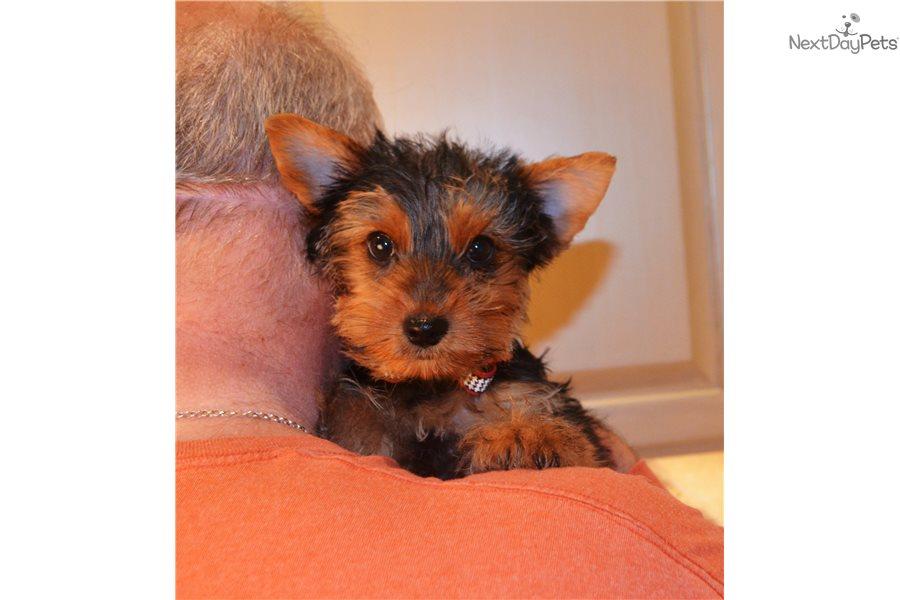 Noah Yorkshire Terrier Yorkie Puppy For Sale Near San Antonio
