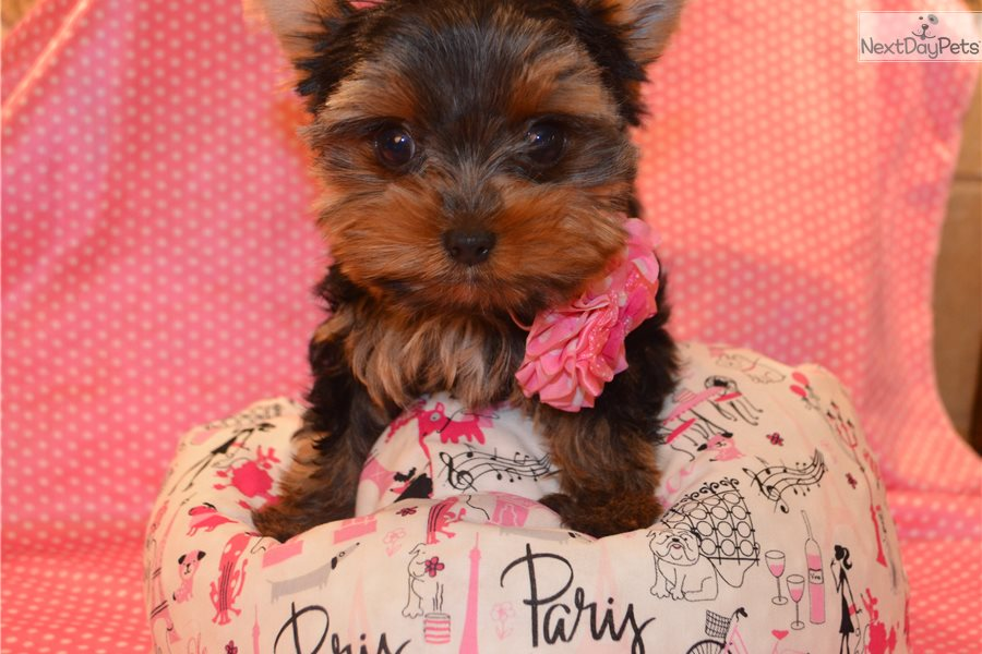 Isabella: Yorkshire Terrier - Yorkie puppy for sale near San Antonio