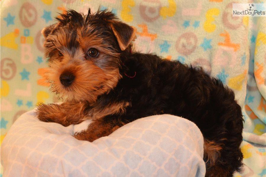 Max Yorkshire Terrier Yorkie Puppy For Sale Near San Antonio