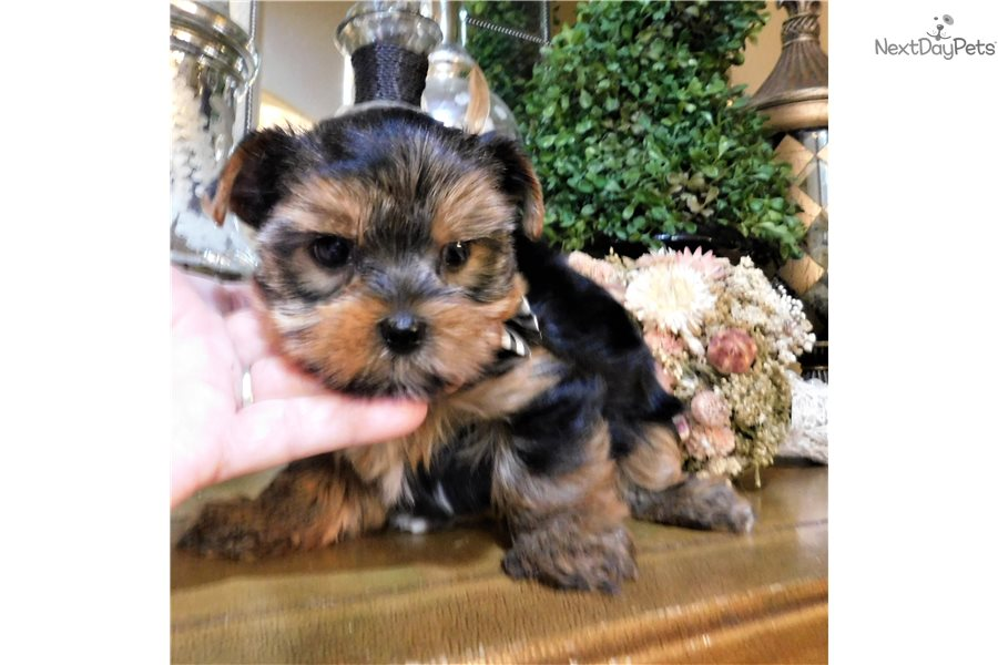 Houston Yorkshire Terrier Yorkie Puppy For Sale Near San Antonio