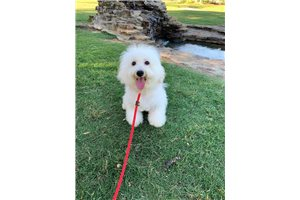 Picture of  Bichon Frise