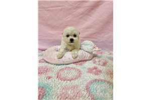 Bichon Frise | Puppy at 4 weeks of age for sale