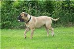 Picture of ACK Registered Male Bullmastiff #1